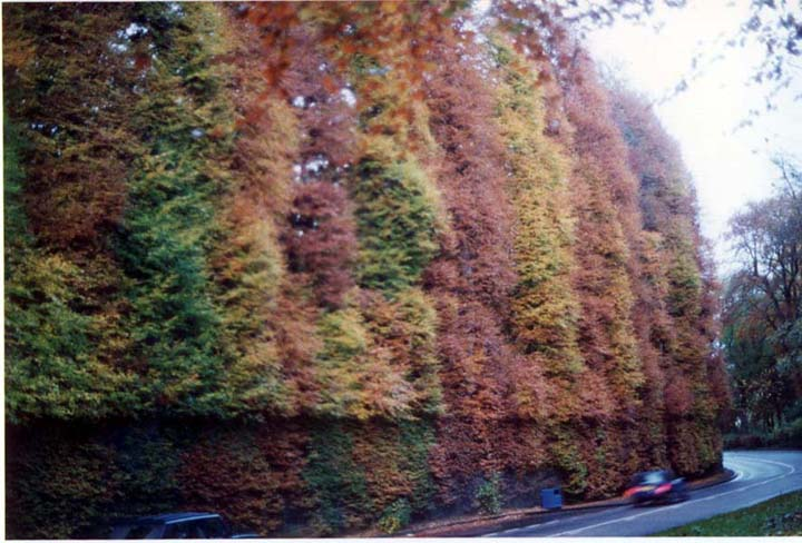 Meikleour Beech Hedge